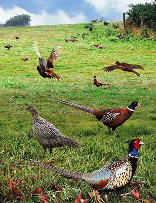 <tt>Common Pheasant from the Crossley ID Guide Britain and Ireland by Richard Crossley via Wikimedia Commons</tt>