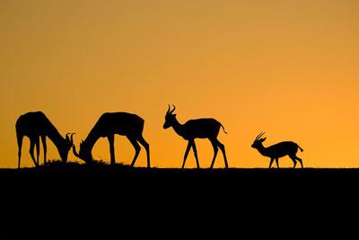 <tt>Deer of Sunset by Anass ERRIHANI via Wikimedia Commons</tt>