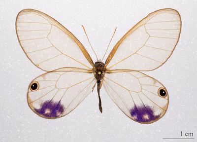 <tt>Cithaerias Esmeralda by Didier Descouens via Wikimedia Commons</tt>