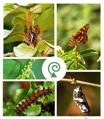 <tt>Harlequin Butterfly Life Cycle by Albert Herring via Wikimedia Commons</tt>